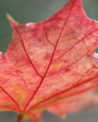 Red Autumn Leaf Background for HTC Titan