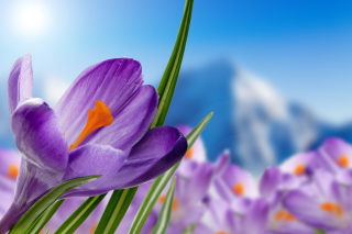 Crocuses Image Background for Android, iPhone and iPad