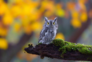 Free Little Owl Yellow Eyes Picture for Android, iPhone and iPad